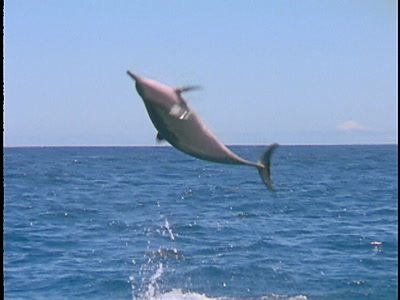 Spinner Dolphin Great Spin Slow Motion