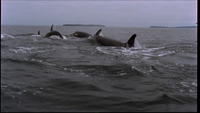 Killer Whale Breaches