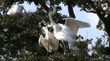 Great Egrets - Parent Feeds Chicks