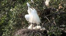 Great Egret - Grooms While Standing Over Chicks In Nest