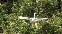 Great Egret Juvenile Fledging