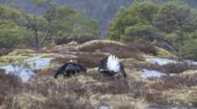 Black Grouse Fighting In The Fjord