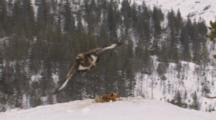 Golden Eagle Flying Off From Bait, Another Eagle Is Landing