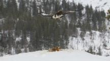 Golden Eagle Flying Away From Prey