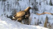 Golden Eagle Walking In Snow And Examening Microphone In Snow
