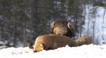 Golden Eagle Feeding On Bait In Snow
