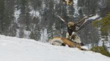 Golden Eagle Feeding On Bait In Snow , Other Eagle Is Landing