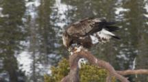 Golden Eagle Feeding On Bait Sitting On Branche