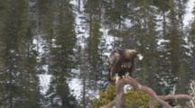 Golden Eagle Feeding On Bait In Snow, Sitting On Branche, Feathers Fly Around