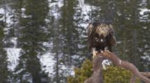 Golden Eagle Feeding On Bait In Snow ,