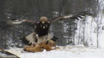 Golden Eagle Perching On Prey, Other Eagle Is Landing