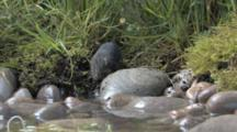 Water Shrew Getting Around, Sniffing Air