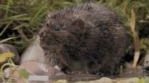 Watervole Sitting And Looking