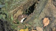 Weasel Comes Out Of A Hole In A Trunk, Looks Around