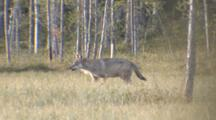 Wolf  Walking On/In Tundra/Birch Forest