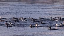 Flock Of Eider Ducks On The River, Diving For Food