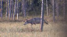 Wolf Walking Through Birch Forest