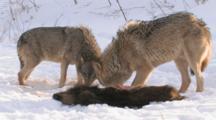 Wolves Feeding On Wild Boar