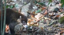 A White-Nosed Coati (Nasua Narica) Moves Through The Frame