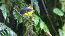 A Collared Redstart (Myioborus Torquatus) In The Cloud Forest Of Costa Rica