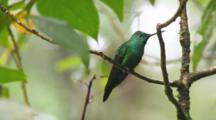 A Green-Crowned Brilliant, Heliodoxa Jacula, In Costa Rica