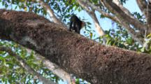 A Pair Of White-Faced Capuchin Monkeys Cross A Tree In The Rain-Forest.