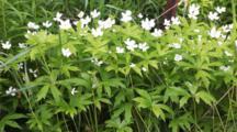 Canada Anemone, Anemone Canadensis