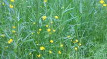 Common Buttercup, Ranunculus Arvensis