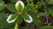 Green Trillium, Infected Trillium Grandiflorum