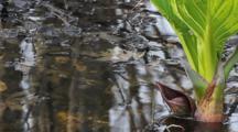 Skunk Cabbage, Lysichiton Americanus