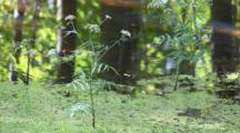 Water Hemlock, Cicuta Douglasii