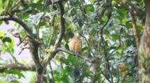 A Clay Colored Thrush, Turdus Grayi, Found In The Tropics.