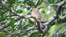 A Clay Colored Thrush, Turdus Grayi, Found In Panama