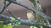 A Clay Colored Thrush, Turdus Grayi, Perched