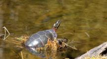 Painted Turtle, Chrysemys Picta