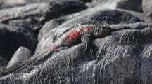 The Marine Iguana, Amblyrhynchus Cristatus, From The Galapagos Islands