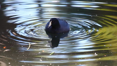 An American Coot seen in a circle of ripples