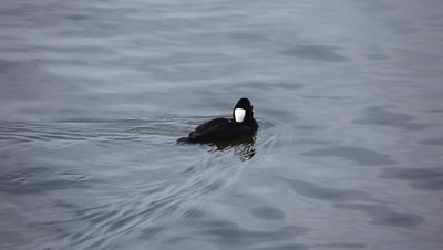 A male Surf Scoter dives for food
