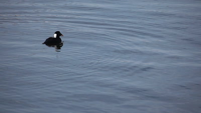 A male adult Surf Scoter dives for food
