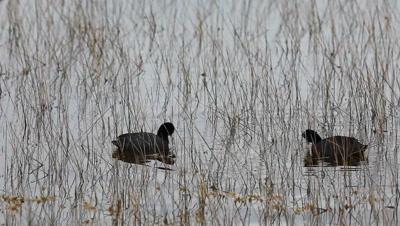 Pair of American Coot, Fulica americana, in marsh
