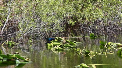 Purple Gallinule, Porphyrio martinicus, in an Everglades marsh