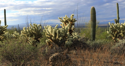 4K UltraHD View of Cholla Cactus in Tucson Mountain Park