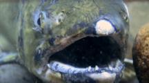Coho Salmon Close Up