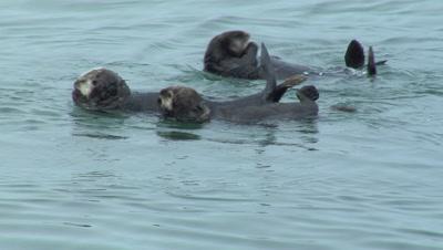 Sea Otter Conga Line