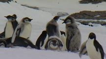 Emperor Penguin Chicks Fledgling Group
