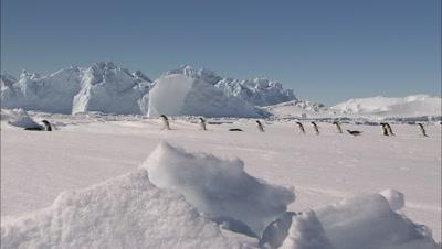 Adelie Penguins Trekking Over Ice In A Line