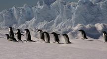 Adelie Penguins Trekking Over Ice, All Stop
