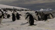 Adelie Penguins At Waters Edge, Curious One Comes Near Camera