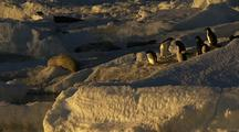 Adelie Penguins And Weddell Seals At Water's Edge At Sunset