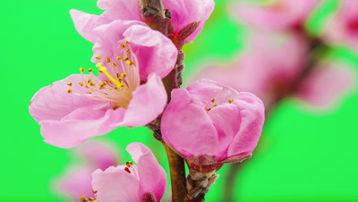Time lapse video of a peach flower blossoming against a green background